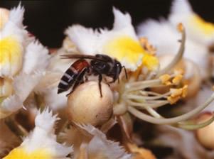 コミツバチ <i>Apis florea</i> Fabricius ミツバチ科 (バングラデシュ)